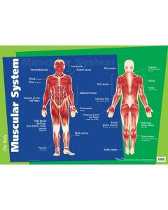 Muscular System Wall Chart